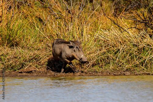 Photo  Wild boar in the Djoudj National Bird Sanctuary, Senegal