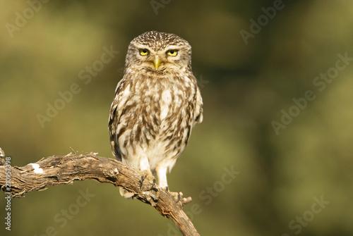 In de dag Uil Little owl. Athene noctua