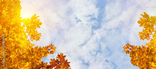Yellow maple leaves on the background of sunny autumn sky. Autumn foliage background. Panoramic view