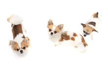 Three Chihuahua Dogs Isolated