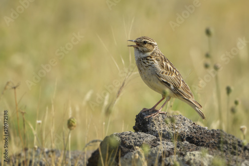 Staande foto Vogel Eurasian Skylark - Alauda arvensis, small brown perching bird from Euroasian meadows singing, Eastern Rodope mountains, Bulgaria.