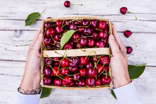 Freshly Picked Ripe Sweet Cherry In A Basket.