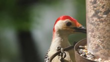 Red-bellied Woodpecker Eating At Bird Feeder And Flies Away