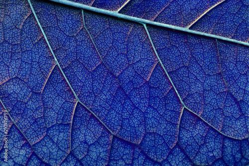 Fototapeta classic blue color abstract macro texture leaf close up obraz