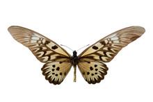 Butterfly Druryeia Antimachus M