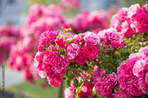 Staande foto Roze Pink rose flower bushes in the garden