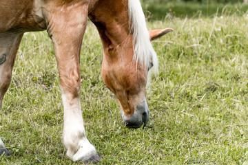 Naklejka na ściany i meble Brown Horse With White Mane Grazing