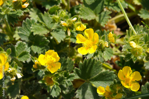 Potentilla neumanniana or spring cinquefoil yellow flowers with green Fototapet