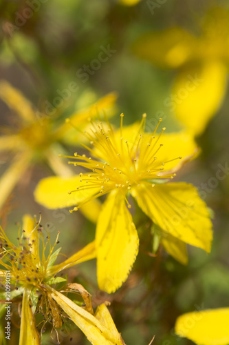 Closeup of flower medicinal plants hypericum perforatum buy this closeup of flower medicinal plants hypericum perforatum mightylinksfo