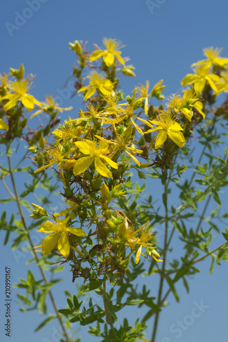 Detail Of Flower Medicinal Plants Hypericum Perforatum Buy This
