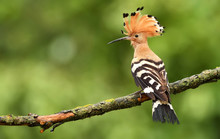 Eurasian Hoopoe Or Common Hoop...