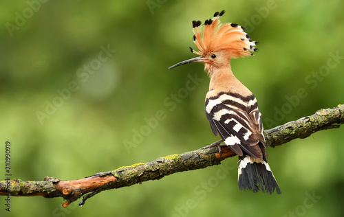 Eurasian Hoopoe or Common hoopoe (Upupa epops)