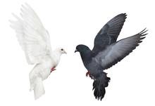 Dark And Light Pigeons Flying On White