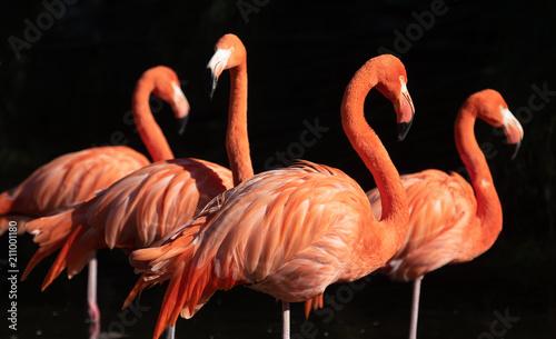 Poster Flamingo American Flamingo. Phoenicopterus ruber