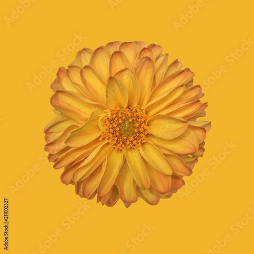 Dahlia on plain background, yellow