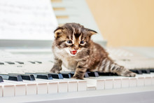 Little Kitten On Piano Keys. O...
