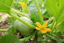 Young Pumpkin In The Garden. Yellow Pumpkin Flower. Eco Agriculture. Permaculture Cultivation Of Melons.