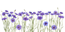 Beautiful Blue Cornflowers Isolated On White, Can Be Used As Background