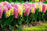 Beautiful blooming bright fresh hyacinth flowers in the garden o