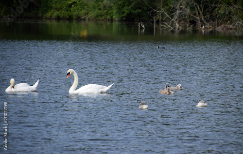 Tuinposter Zwaan view over a lake with mute swans and cygnets, mute swan family on a lake in bavaria in june
