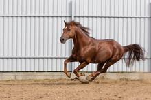 Chestnut Horse Running In Padd...
