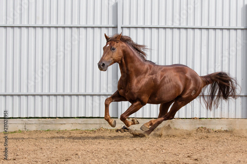 Fotografía  Chestnut horse running in paddock on the sand background