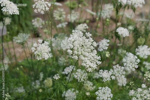 aminek kwitnący - fototapety na wymiar