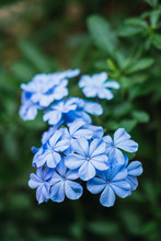Tender Blue Flowers In Close-up