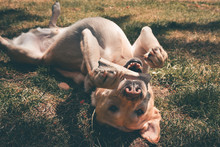 Labrador Retriever Happily Chewing Bone Upside Down On Grass