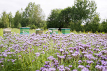 Field Of Blooming Blue Phacelia (Phacelia Tanacetifolia Benth) And Colorful Bee Hives Arranged