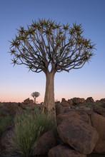 Quiver Tree At Dawn