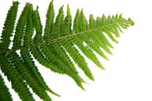 Green Leaf Fern With Spores Is...