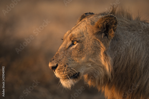 Fotografie, Obraz  Side Profile of a Young Male Lion