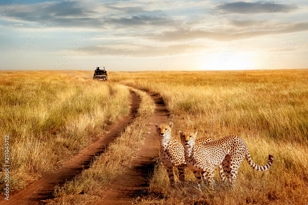 Group of cheetah in the Serengeti National Park on a sunset background. Wildlife natural image. African safari.