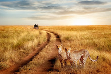 Group Of Cheetah In The Sereng...