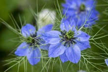 Nigella Damascena Early Summer Flowering Plant With Different Shades Of Blue Flowers On Small Green Shrub, Ornamental Garden