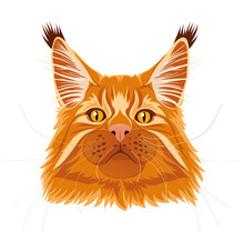 Male Red Solid Maine Coon Cat ...