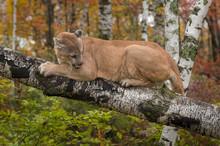 Adult Male Cougar (Puma Concol...