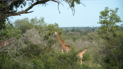 Giraffen im afrikanischen Busch