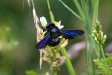 Xylocopa Violacea, The Violet ...