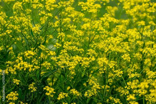Fotografía A mustard flower. Mustard field beautiful landscape