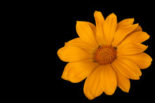 Large Yellow Decorative Camomile On A Black Background, Ants In The Center Of A Flower.