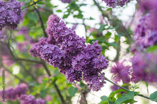Foto op Canvas Lilac Flowering of the lilac in the spring