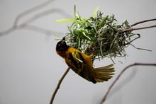 Black Headed Textor Weaver Bird