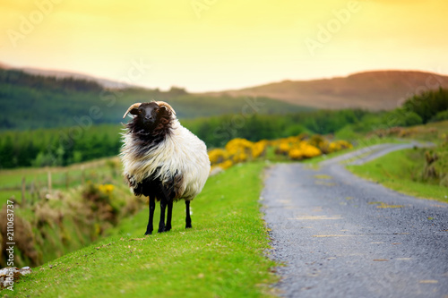 Poster Zwavel geel Sheep marked with colorful dye grazing in green pastures of Ireland