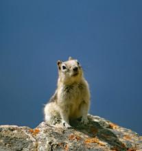 Ground Squirrel In Wilderness