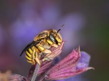 European Wool Carder Bee Sitting On A Purple Flower