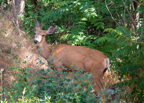 Fotobehang Ree Doe whitetail deer looks over as she walks up some thick brush