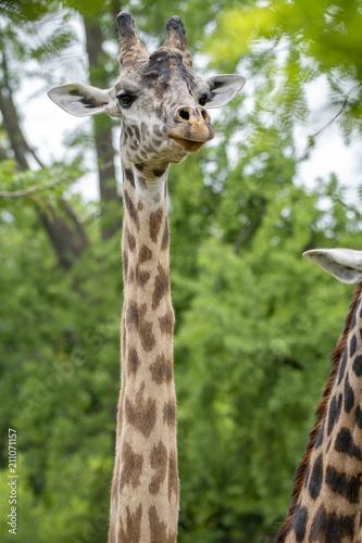 Giraffe family Poster
