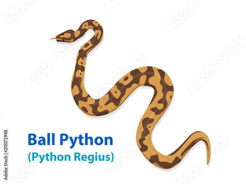 Fototapeta premium Realistyczny wąż Ball Python w widoku z góry sztuka wektorowa